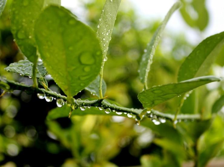 влажные листья лимона