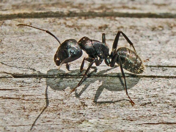 муравей-древоточец