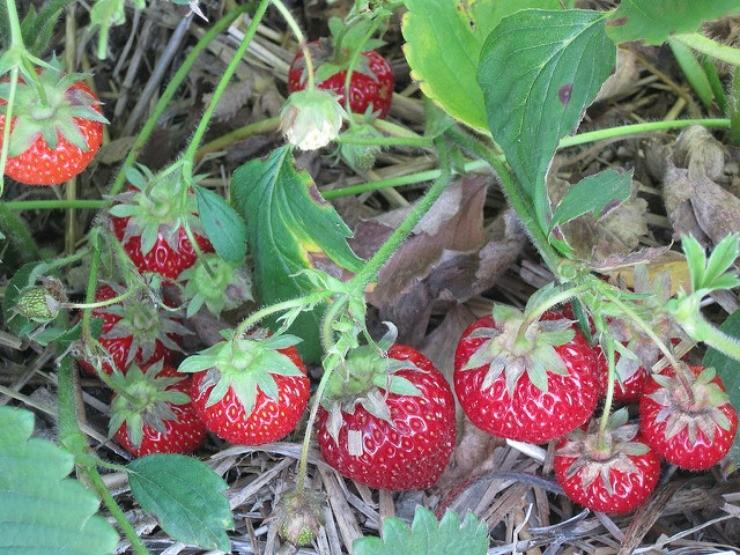 клубника с ягодами