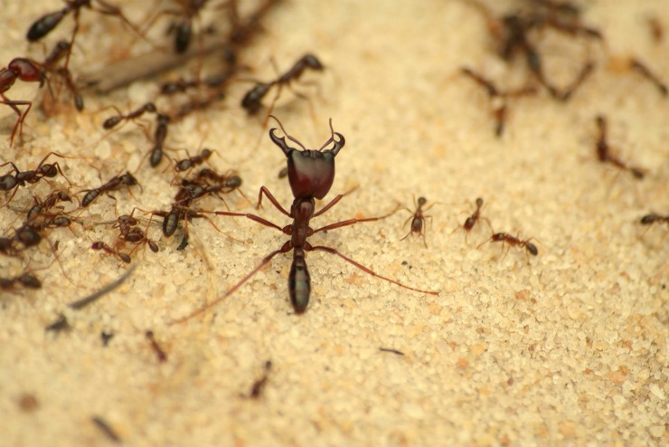муравей солдат