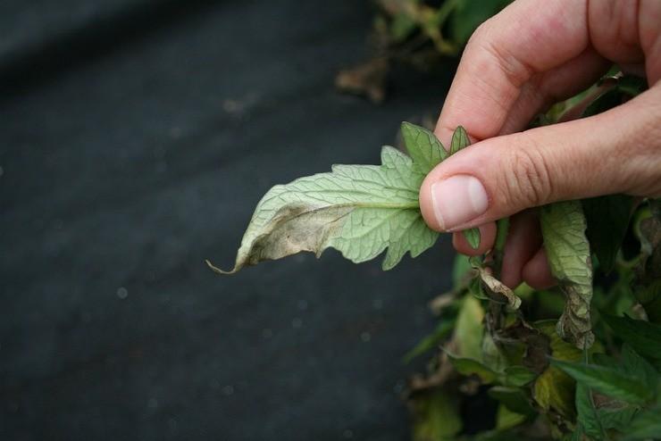 фитофтора на листьях картофеля