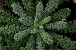 виды капусты с фотографиями