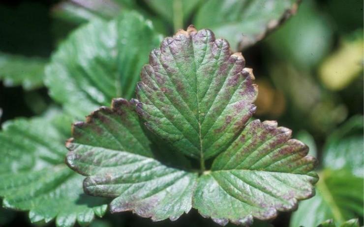 повреждённый лист клубники