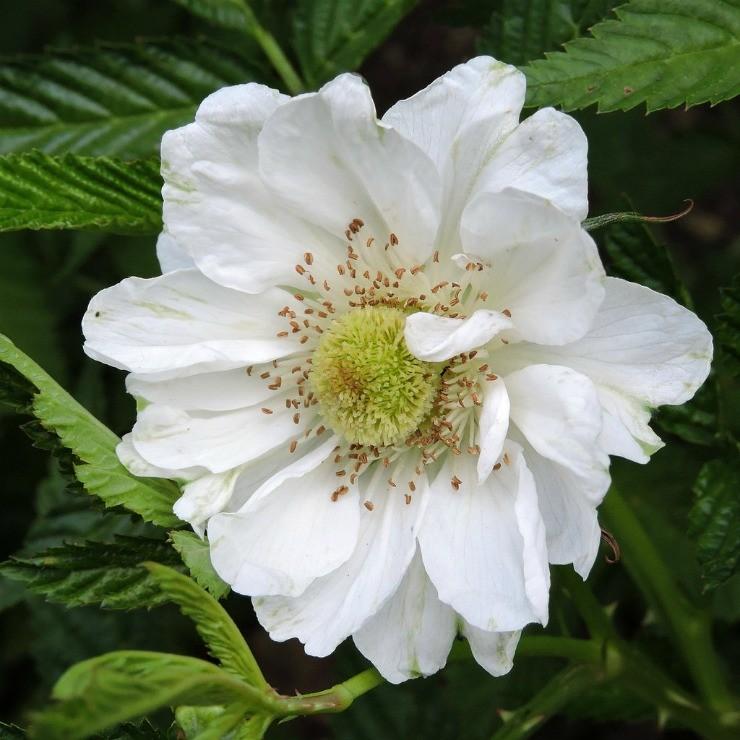 цветок земляничной тибетской малины