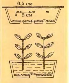 как вырастить гранат из косточки схема