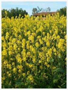 применение горчицы в саду и огороде