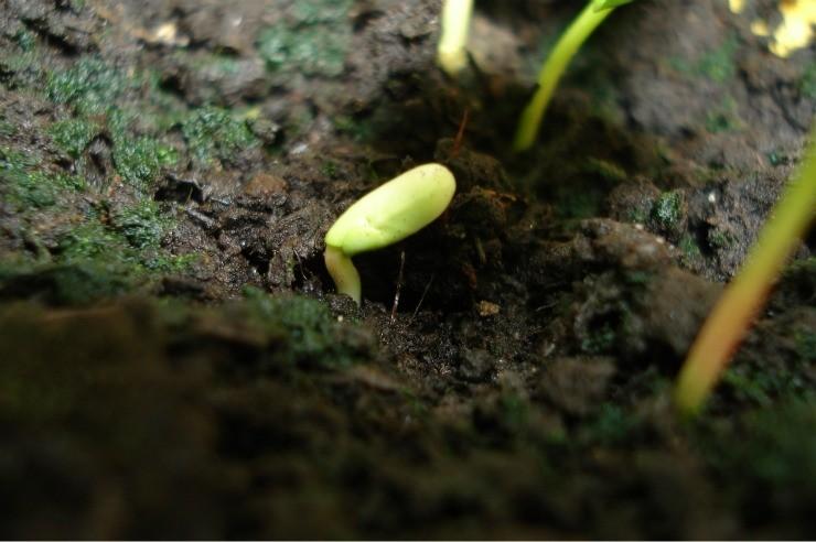 росток граната из косточки