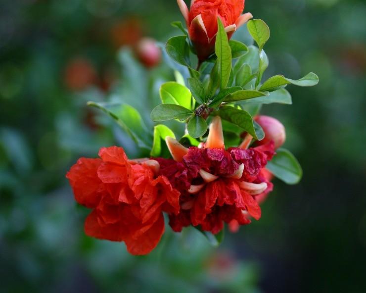 гранат цветёт