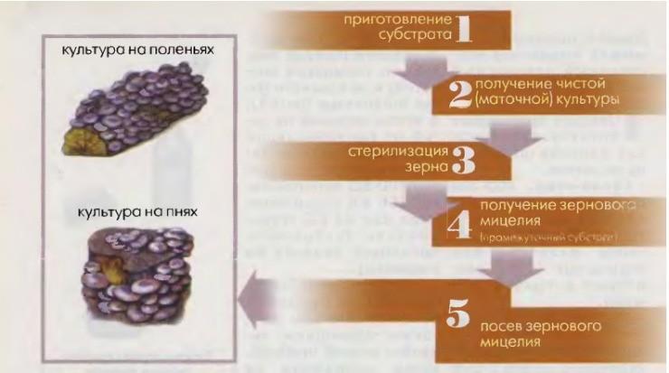 этапы выращивания мицелия вёшенки