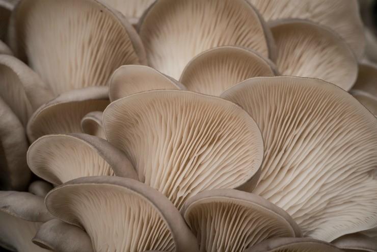 грибы вёшенка