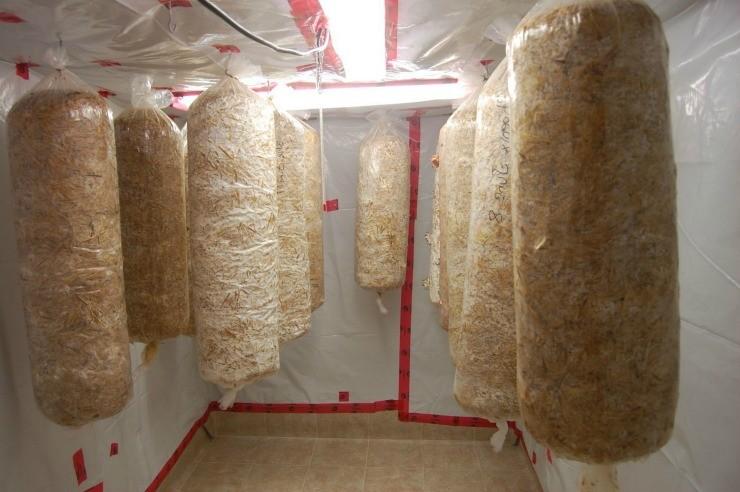 выращивание вёшенки в мешках