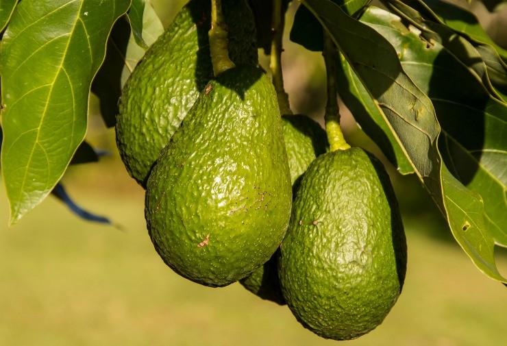 авокадо сорта Хасс растёт на дереве