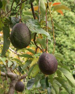 где растёт авокадо