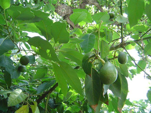 авокадо растёт на дереве