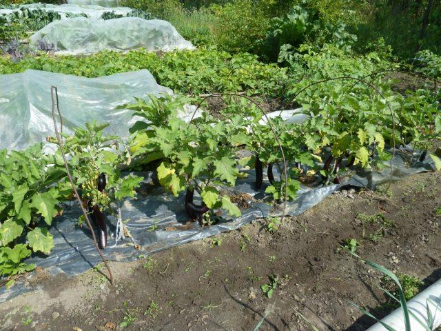 баклажаны растут на чёрной плёнке