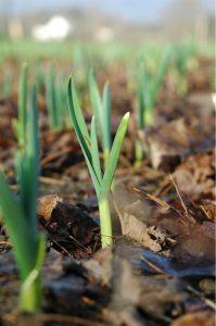 первая подкормка чеснока весной