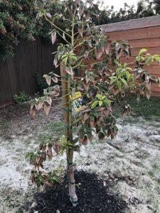 выращивание авокадо в открытом грунте