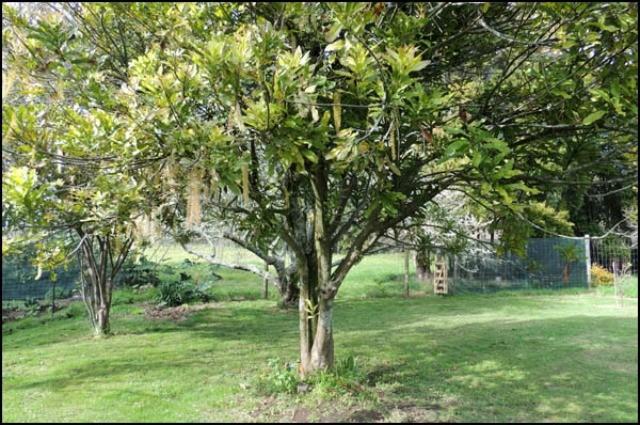 авокадо растёт в саду