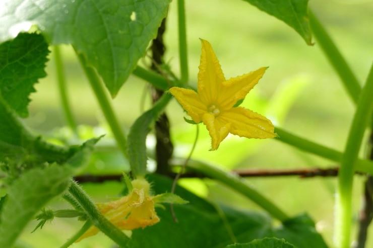 цветение огурца