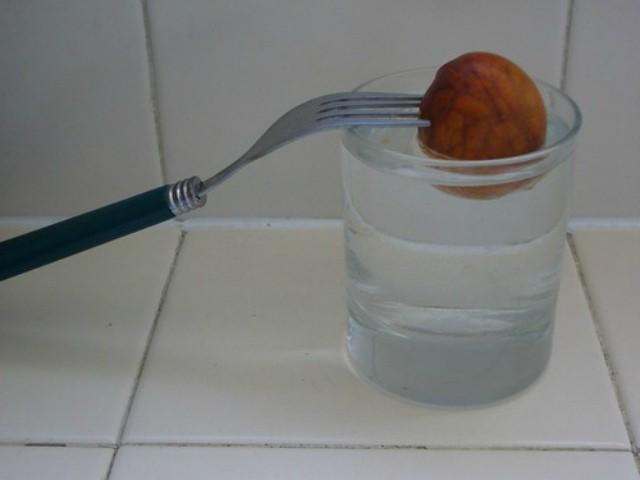 проращивание косточки авокадо