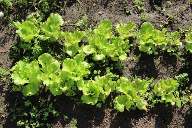 салат полукочанный на грядке