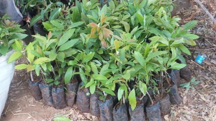саженцы авокадо