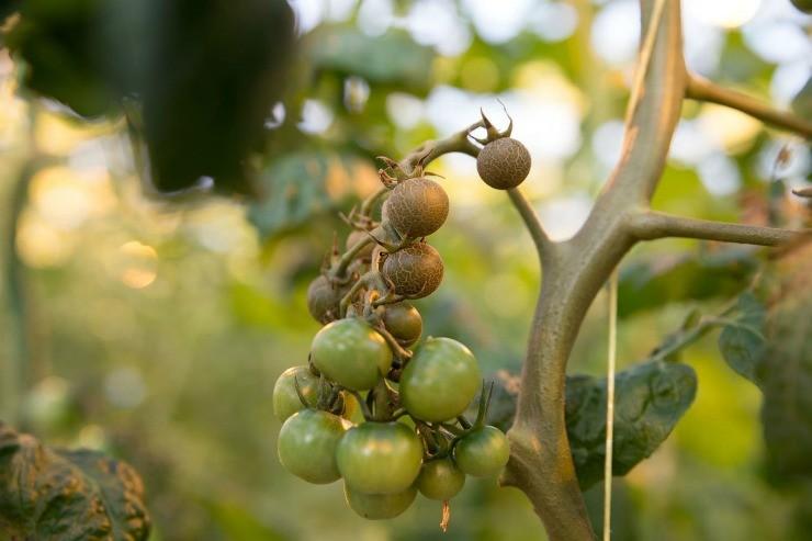 следы ржавчинного клеща на плодах томатов