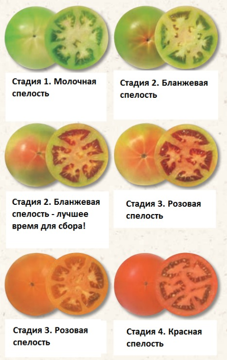 степени зрелости плодов томатов