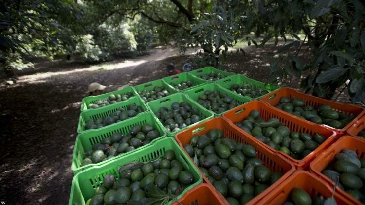 урожай авокадо в ящиках