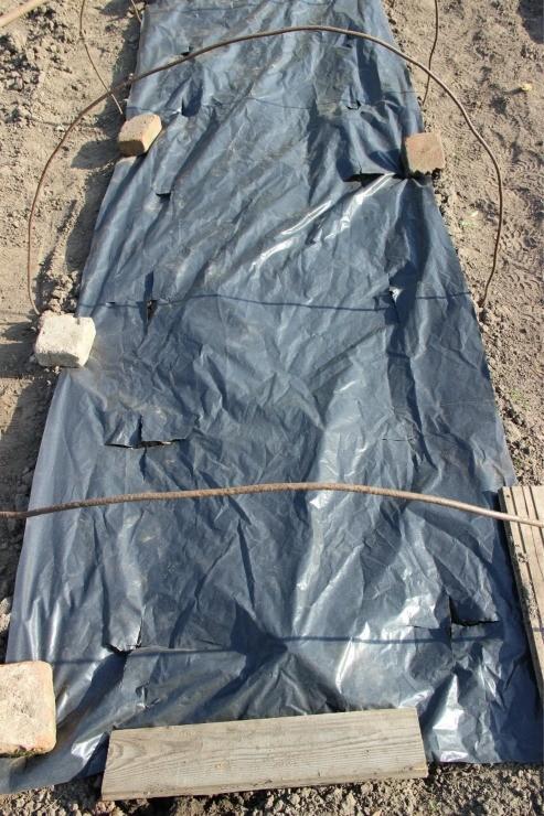 высадки рассады баклажан на чёрную плёнку