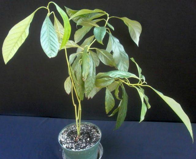 деревце авокадо растёт в горшке