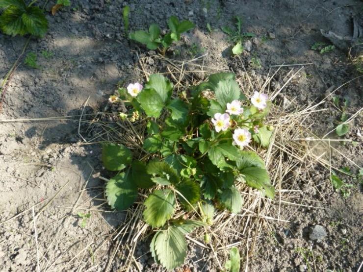 клубника весной на сене