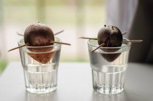 выращивание авокадо из косточки в домашних условиях