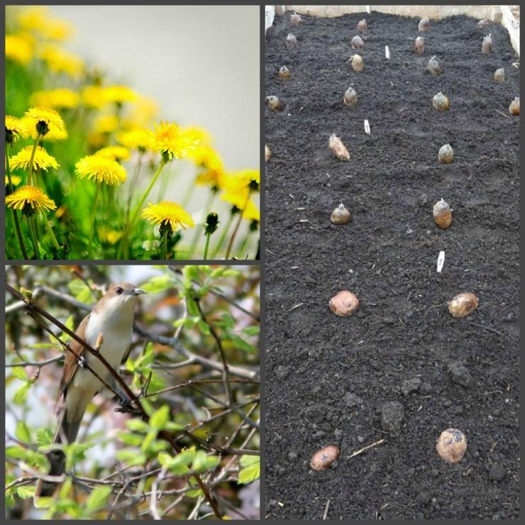 посадка картошки по природным подсказкам