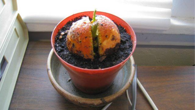 авокадо прорастает в горшке