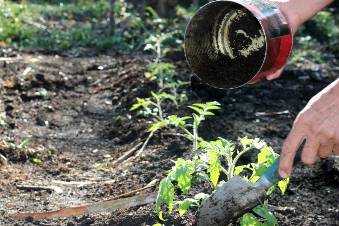 удобрение томатов кофейной гущей