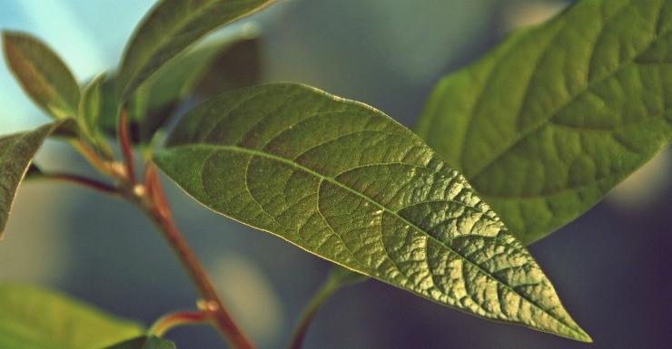 листья авокадо