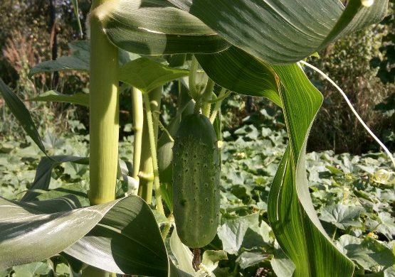 огурец растёт на кукурузе
