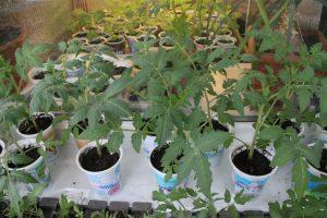 сидераты под томаты весной