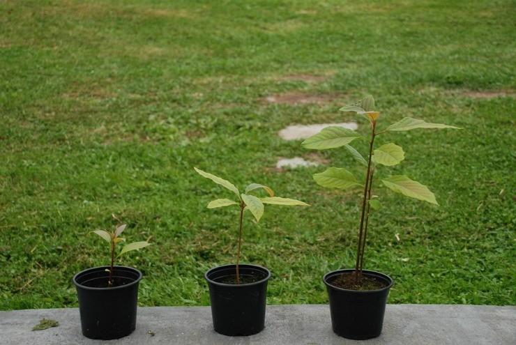 растения авокадо в горшках