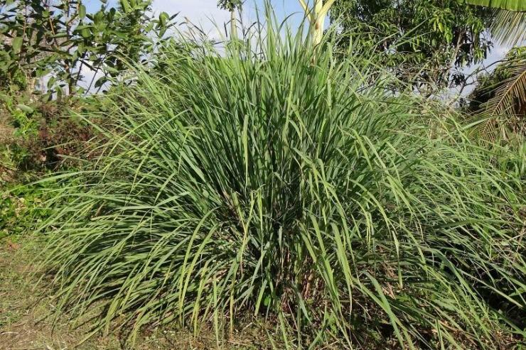 трава цитронелла