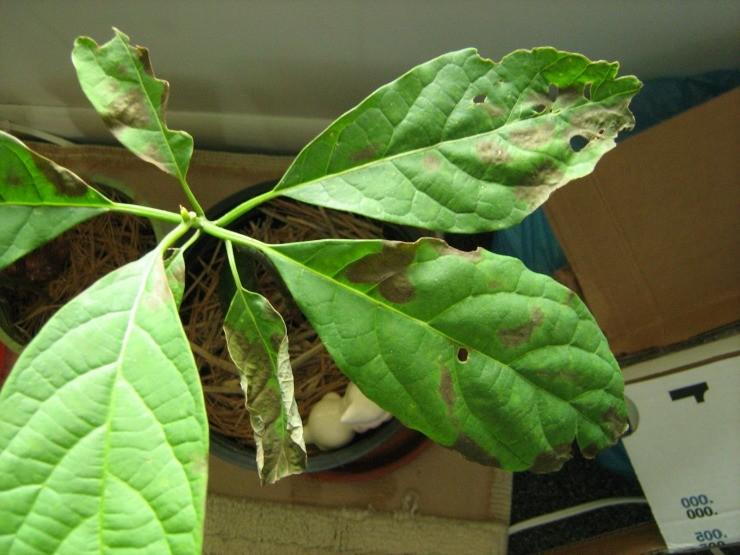 У авокадо сохнут листья