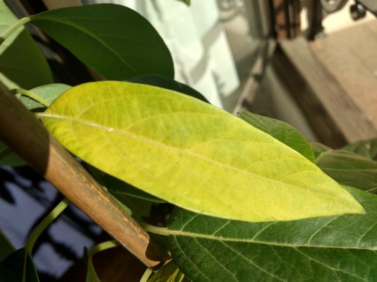 у авокадо желтеют листья