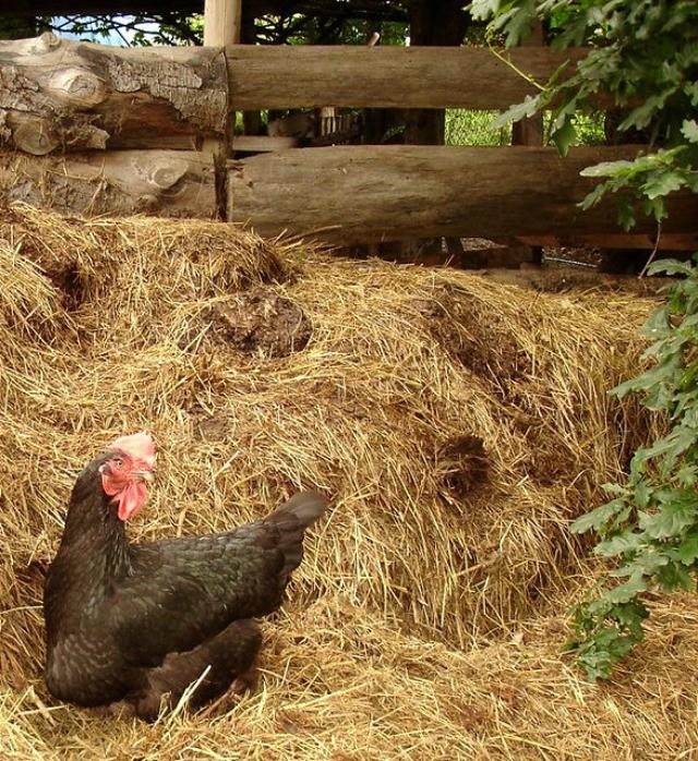 куриный помёт как удобрение для свёклы
