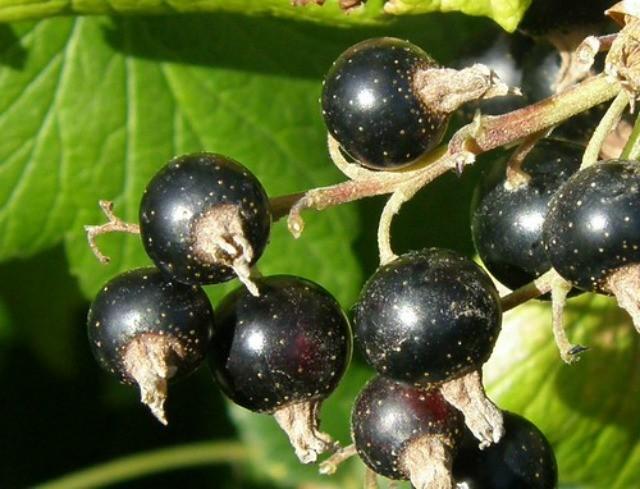 ягоды чёрной смородины на кусте
