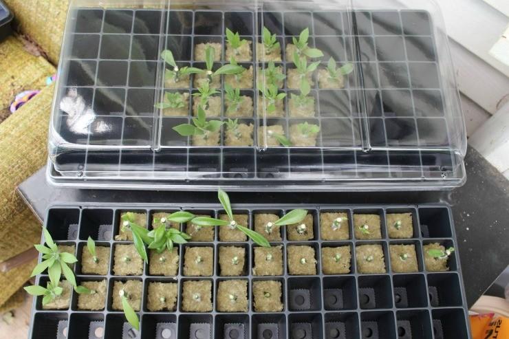 проращивание черенков в минеральных пробках