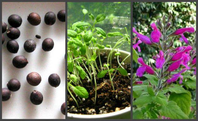 выращивание рассады шалфея