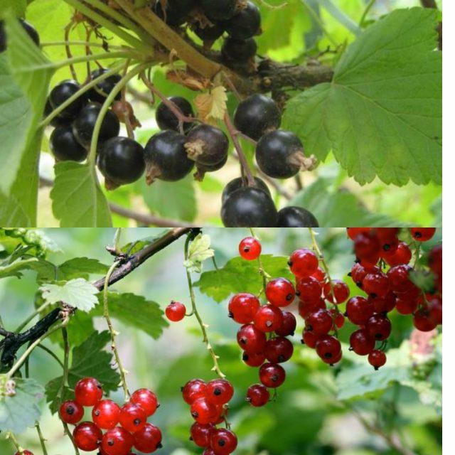 урожай красной и чёрной смородины