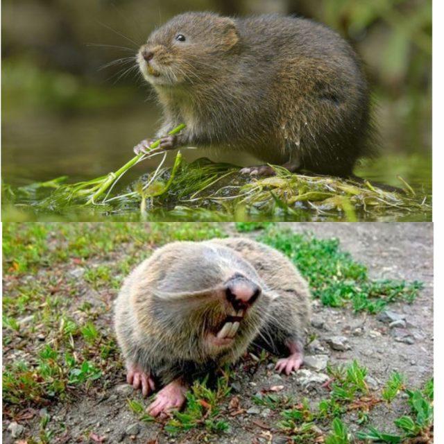 слепыш и водяная крыса