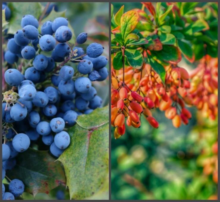 барбарис с синими и оранжевыми ягодами